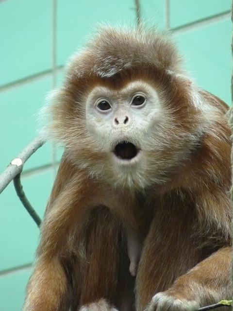 capuchin-4368_640