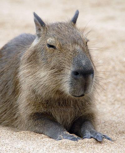 kapybaravelka2