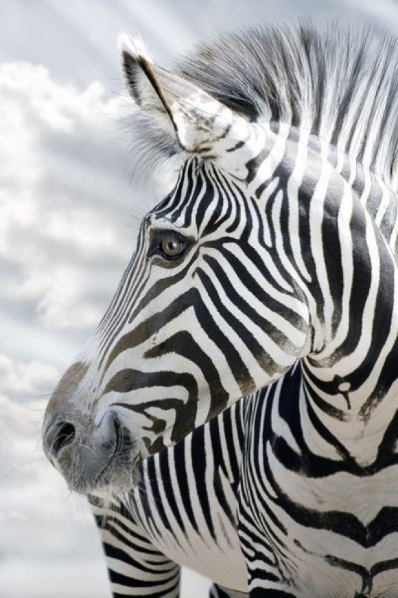 l-Zebra-stripes