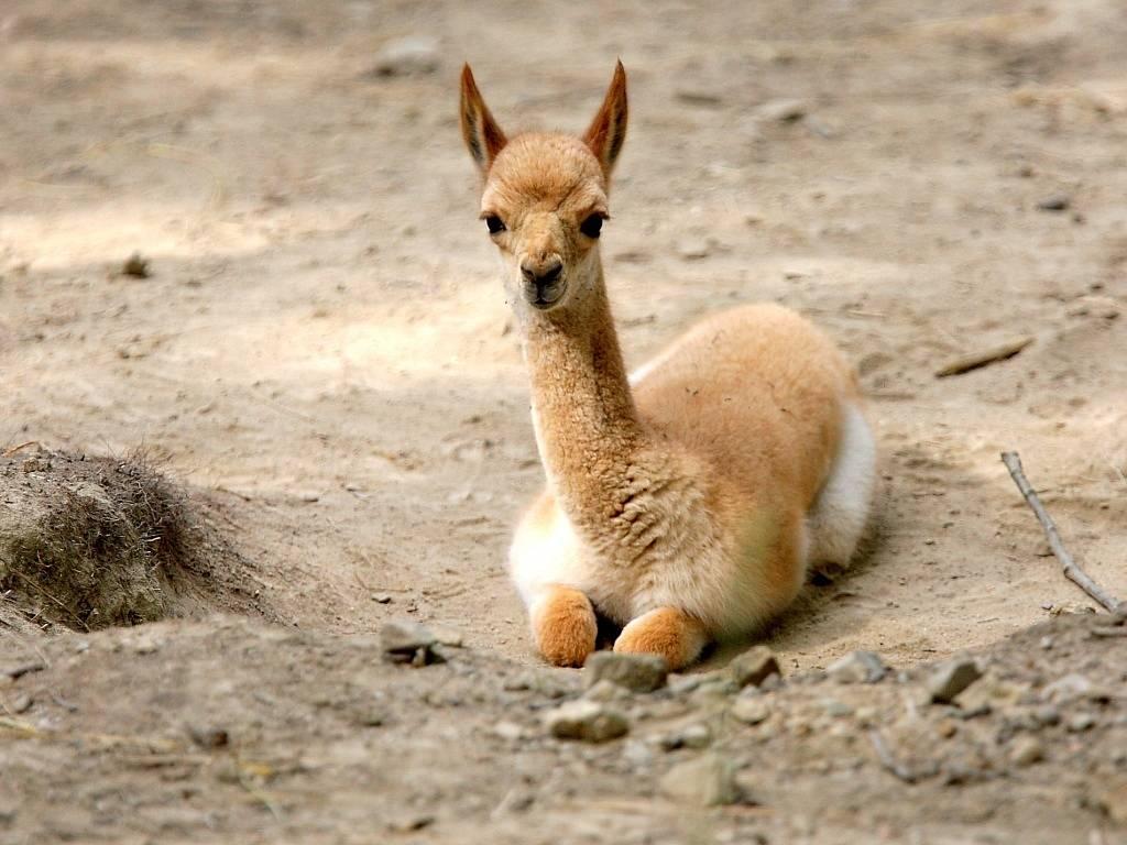zoo-lama-vikuna-brno-dra-7_denik-1024